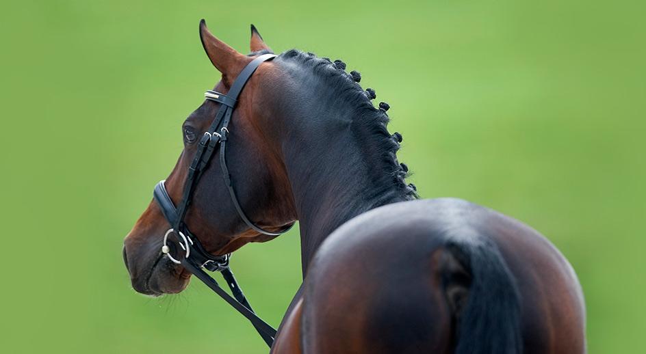 El caballo ideal para la doma paraecuestre